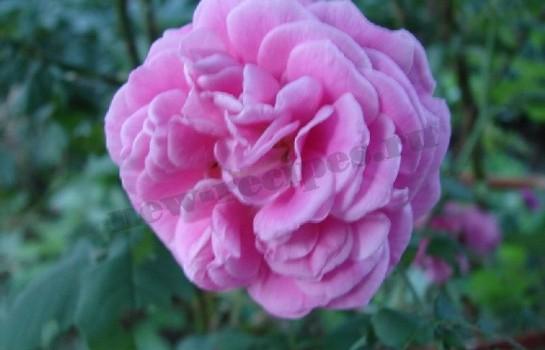розовое варенье 1