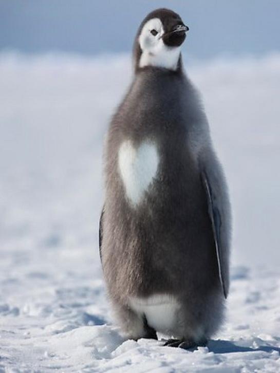 пингвин с пятнышком в виде сердечка