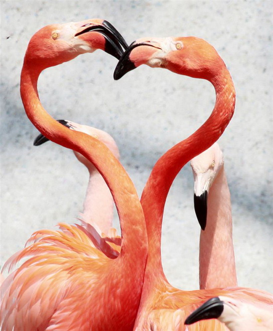 фламинго тоже любят друг друга