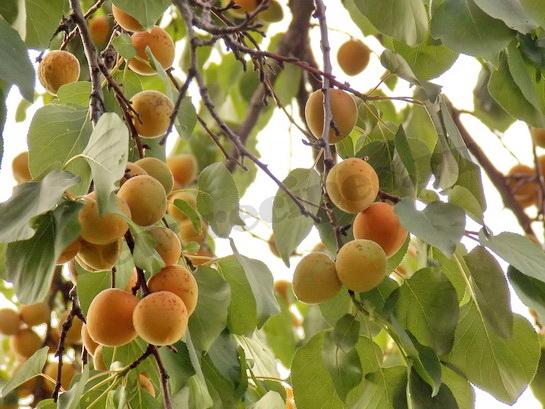 шашлык с абрикосами 4